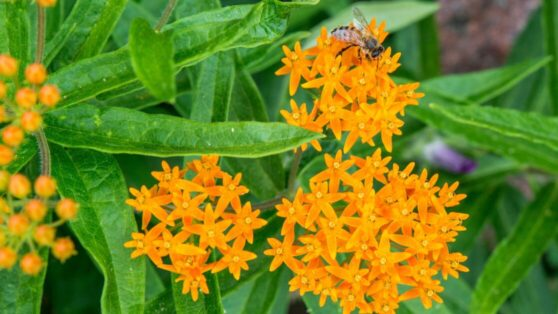 butterweed1