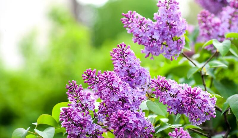 fruit tree violet e1609151175491