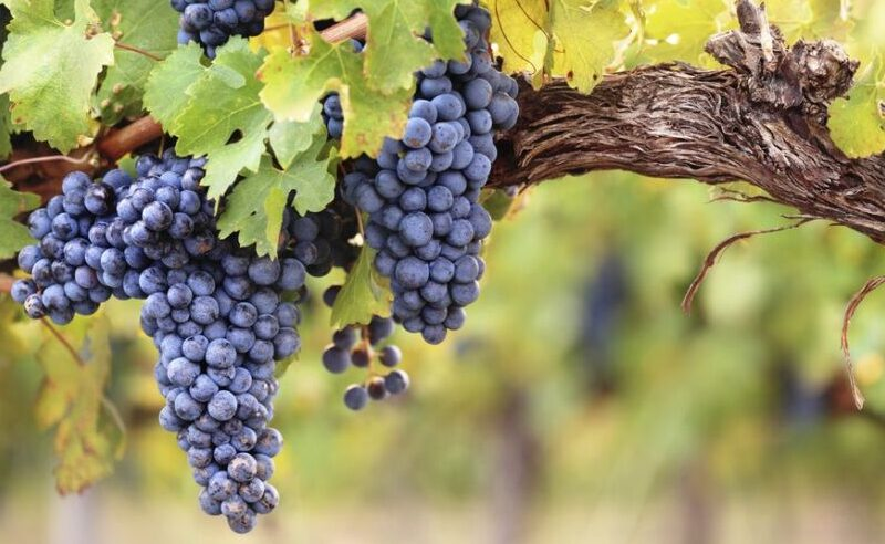 grow grapes from store e1617618921152
