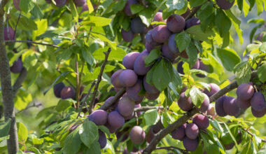 plant plum tree from seed e1618054399531