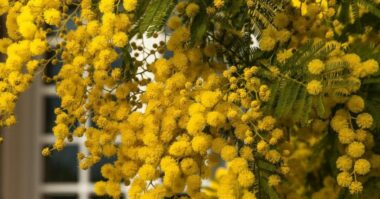 care for mimosa tree e1620736869464