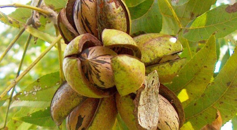 plant hickory nut e1619873256650