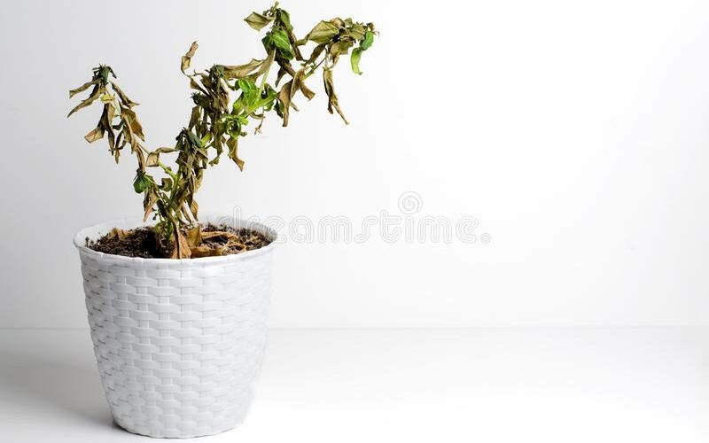 revive wilted plant